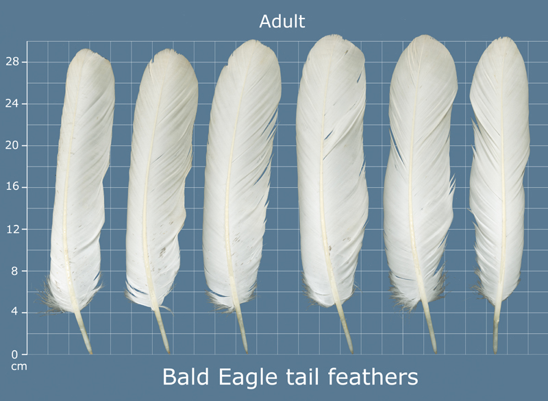BAEA_tail_adult