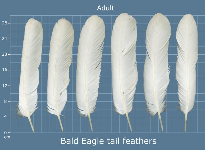 BAEA_tail_adult