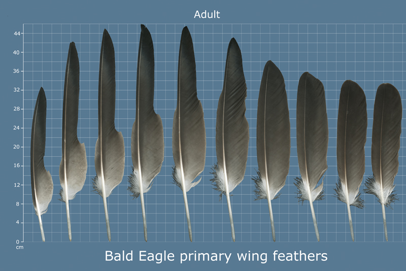 Bald Eagles cannot be sexed reliably based on flight feathers.
