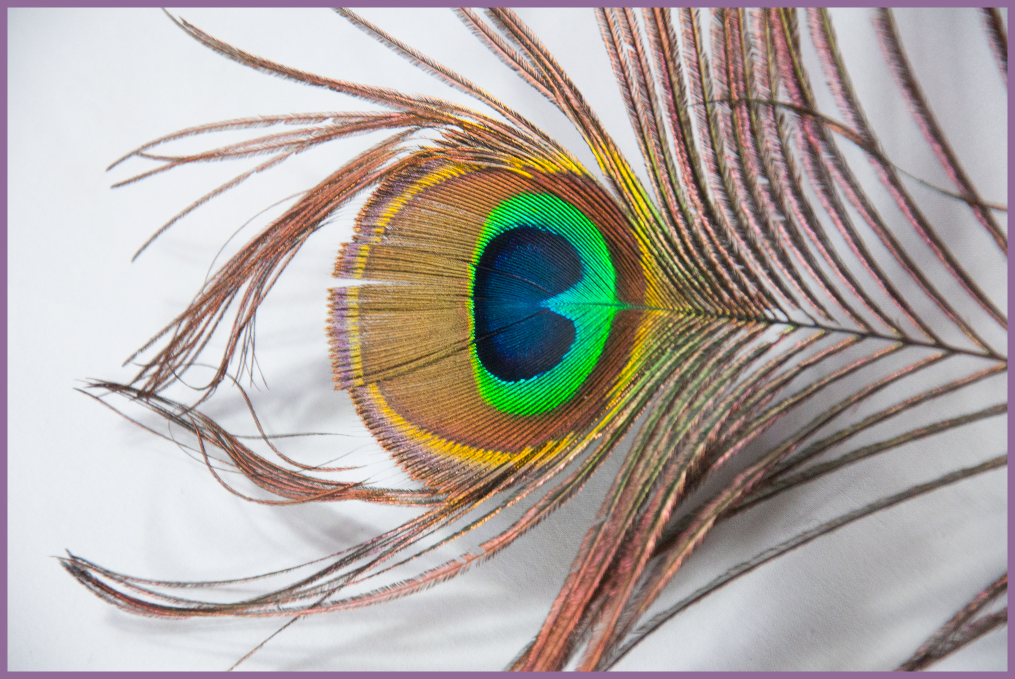 peacocksingle