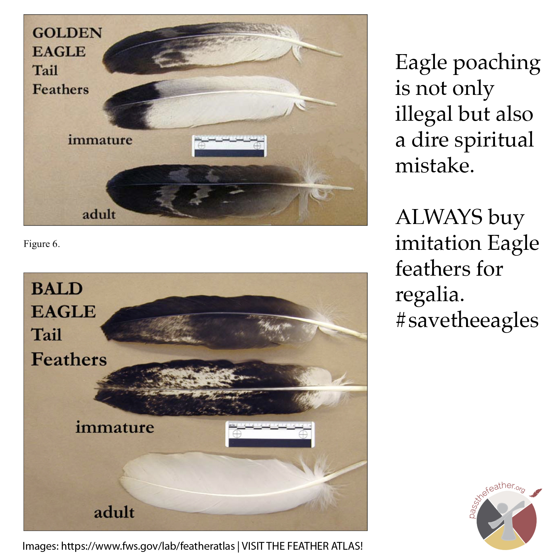 bald eagle, feathers, pass the feather, feather identification, the feather atlas