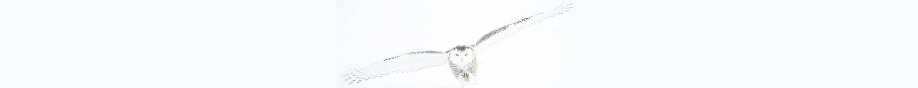 misiwe-snow-owl